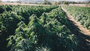 Why Oregon May Be the Best Hemp-Growing State